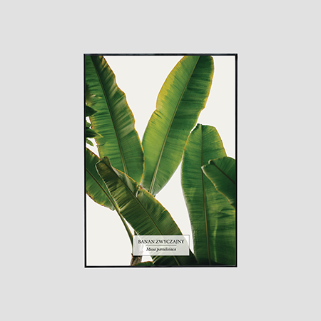 Zdjęcie produktu Bananowiec zwyczajny / Musa paradisiaca
