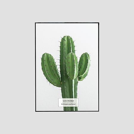 Zdjęcie produktu San Pedro /  Echinopsis pachanoi