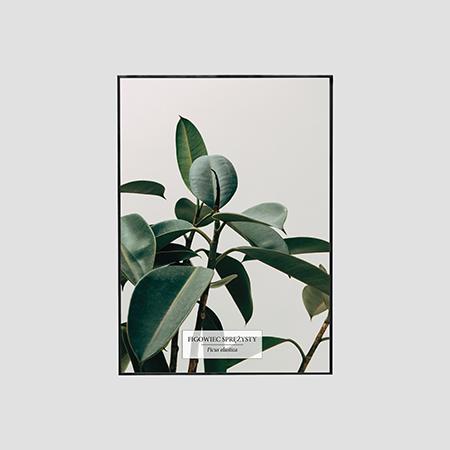 Zdjęcie produktu Figowiec Sprężysty / Ficus elastica
