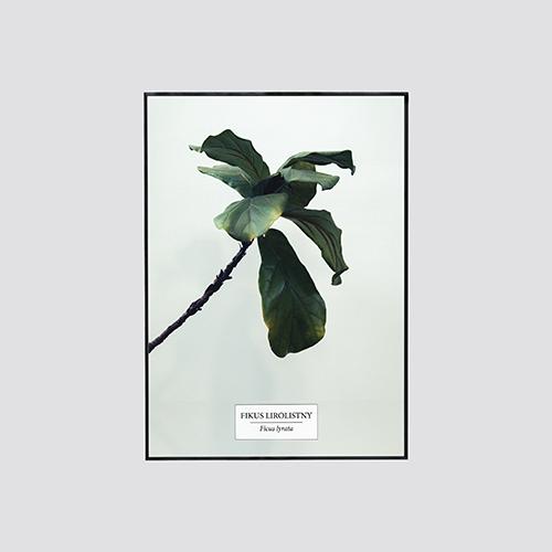 Zdjęcie produktu Fikus lirolistny / Ficus lyrata