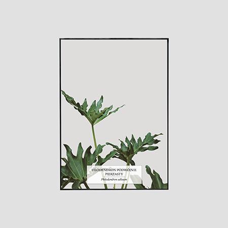Zdjęcie produktu Filodendron Podwójnie Pierzasty / Philodendron selloum
